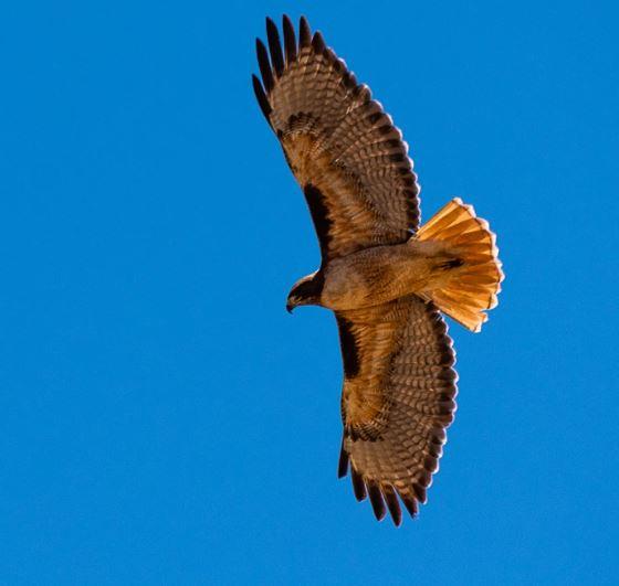 hawk, 2